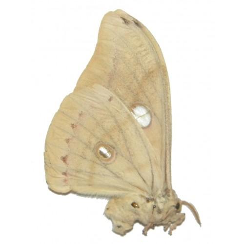 Antheraea sp.16