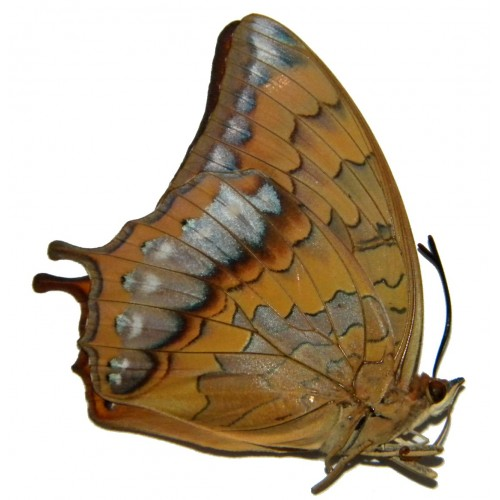 Charaxes affinis affinis