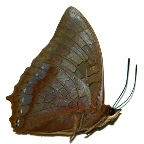 Charaxes latona aruanus