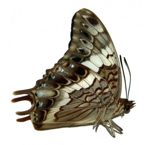 Charaxes ocellatus sumbanus
