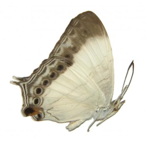 Cyrestis paulinus paulinus