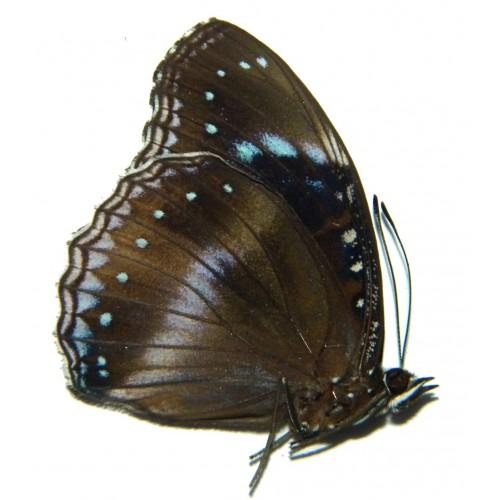 Hypolimnas alimena remigia