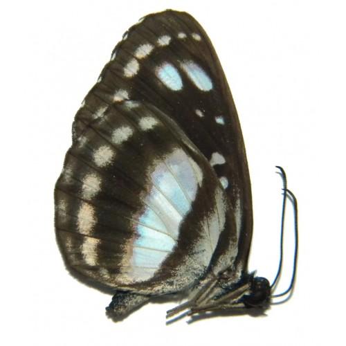 Phaedyma amphion polion