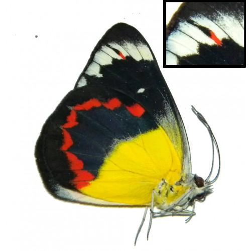 Delias timorensis moaensis ABERRATION 01