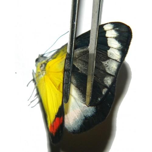 Delias timorensis moaensis ABERRATION 04