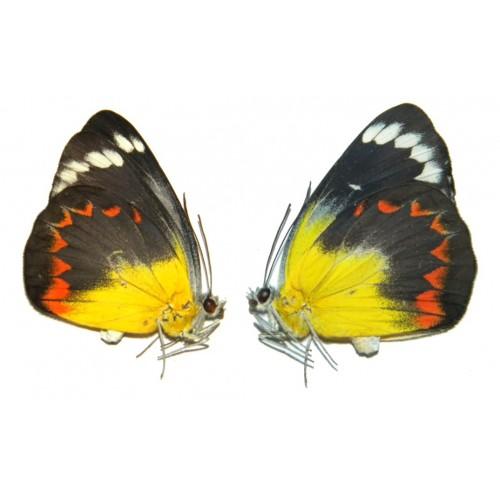 Delias timorensis moaensis ABERRATION 06