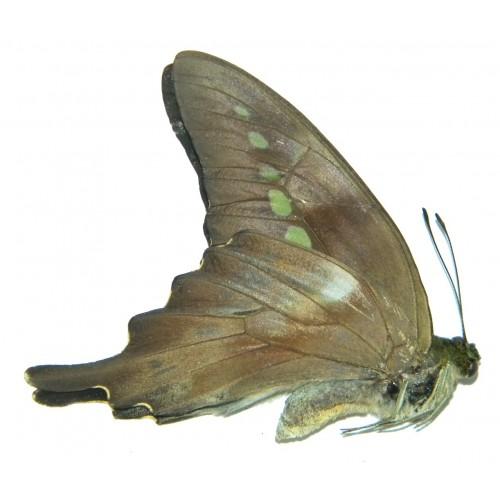 Graphium codrus celebensis