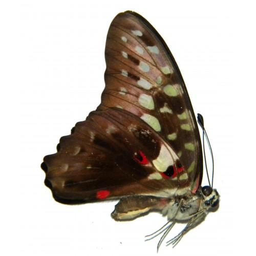 Graphium macferlanei cestius
