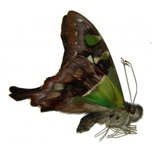 Graphium weiskei