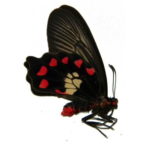 Pachliopta polydorus kajelanus
