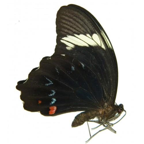 Papilio inopinatus komos