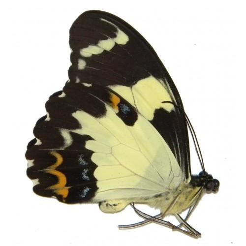 Papilio euchenor euchenor