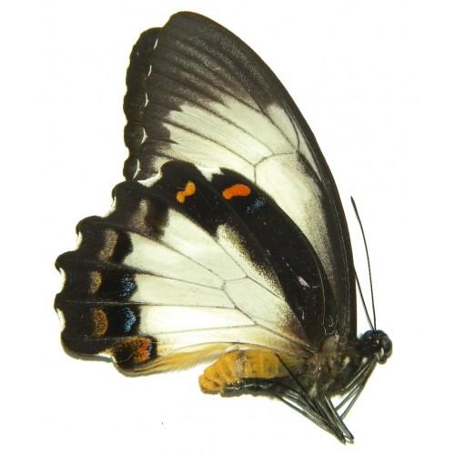 Papilio aegeus ormenus WHITE FORM