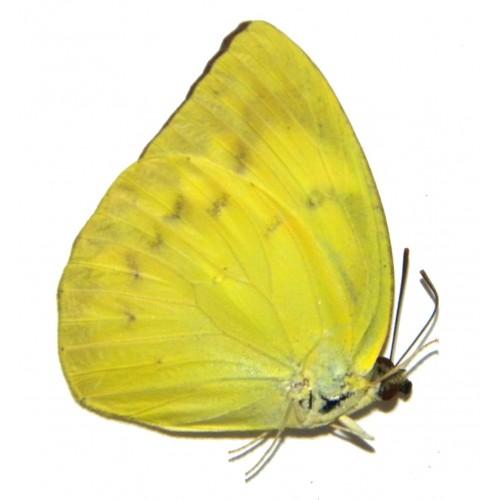 Catopsillia pomona rivalis