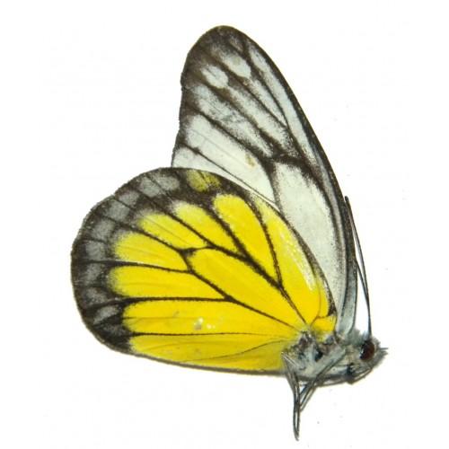 Delias singapura simeuluensis
