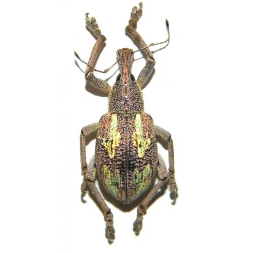 Rhynoscapha dohrni