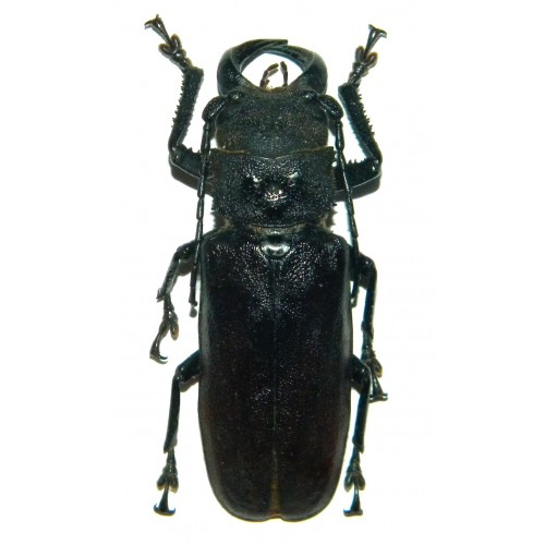 Gnathonyx piceipennis (66mm)