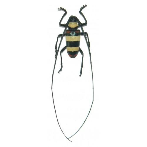 Nemophas tricolor (32mm)