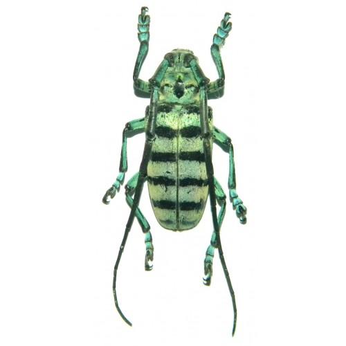 Anoplophora amoena (35-36mm)