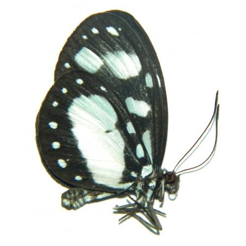 Tellervo zoilus niveipicta
