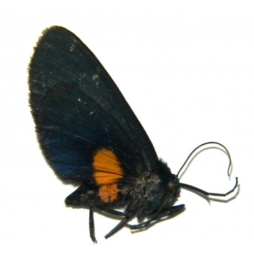 Lobocraspeda coeruleonitens