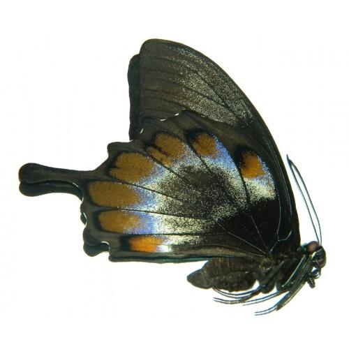 Papilio ulysses ulysses ABERRATION