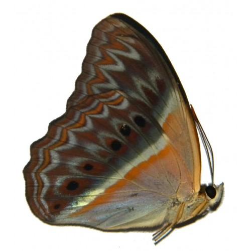 Cirrochroa regina ducalis