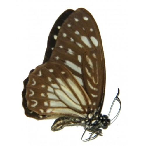Graphium megarus marthae