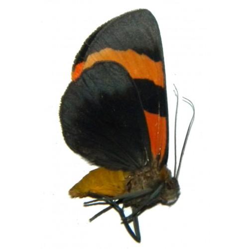 Extramilionia flaviventris