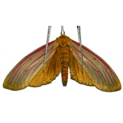 Ethopia roseilinea
