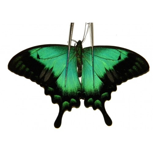 Papilio lorquinianus albertisi