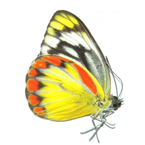 Cepora julia