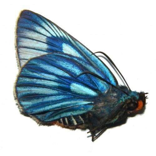 Burara imperialis veteratrix