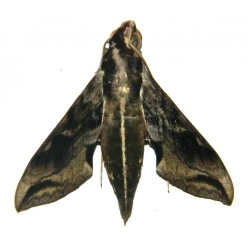 Hippotion brunneus