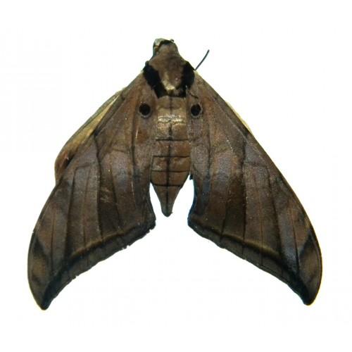 Ambulyx wildei