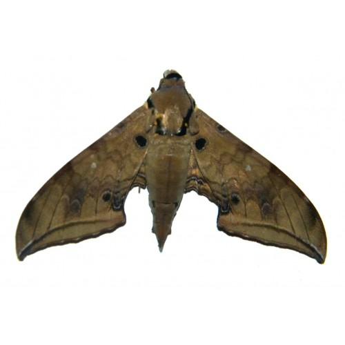 Ambulyx dohertyi
