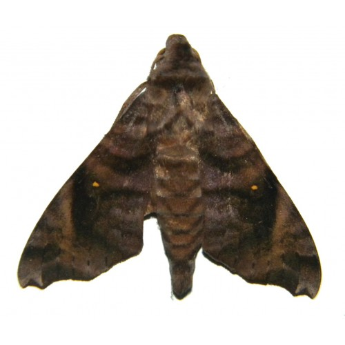 Acosmeryx anceus