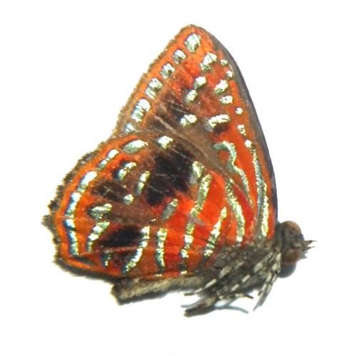 Hypochrysops dicomas
