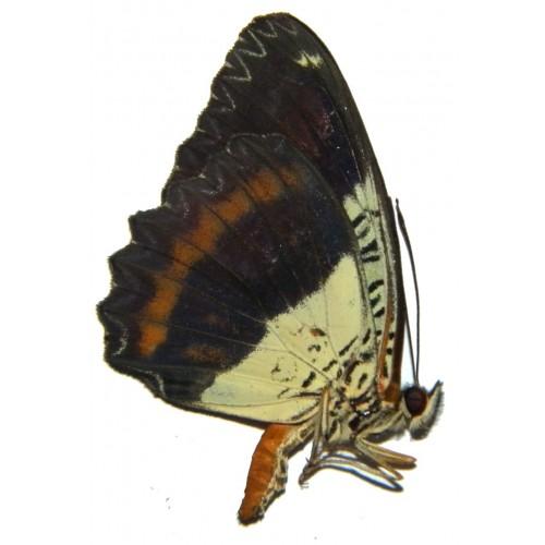 Cethosia lamarki orientalis
