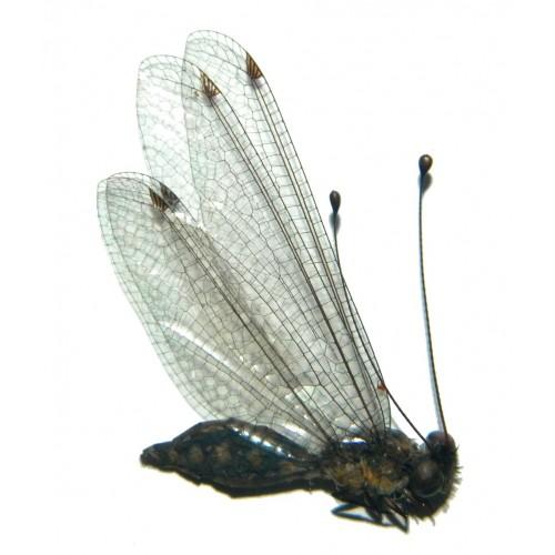 Neuroptera sp.14