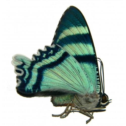 Alcides agathrysus