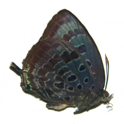 Arhopala sp.04