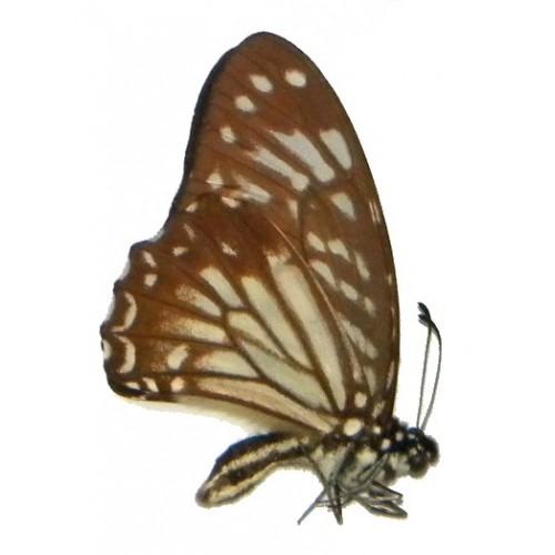 Graphium macareus albinovanum