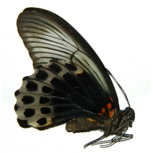 Papilio memnon memnon DARK FORM