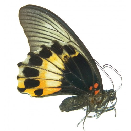 Papilio memnon memnon LIGHT FORM