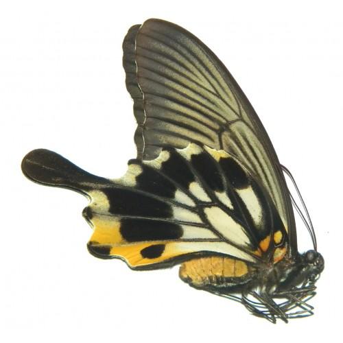 Papilio memnon memnon TAILED FORM