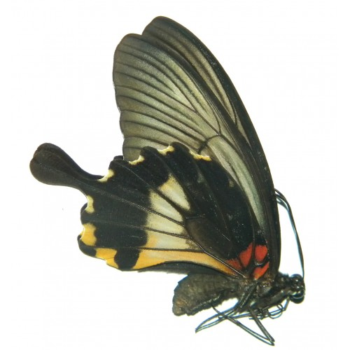 Papilio memnon memnon VARIATION