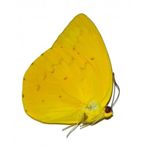 Catopsillia scylla