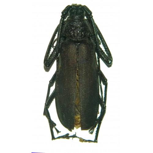 Rugosophysis frater (40-44mm)