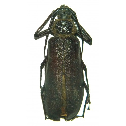 Rugosophysis frater (50-54mm)